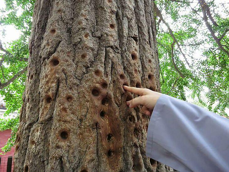 Dziury w drzewie powstawały przez setki lat wskutek ćwiczenia siły palców mnichów klasztoru Szaolin.