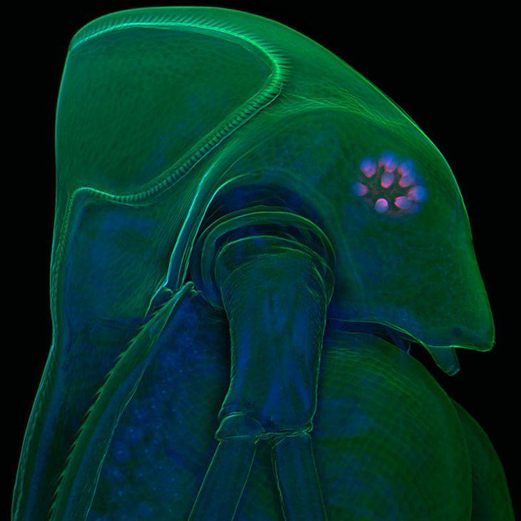 Pchła (Daphnia atkinsoni), fot. Dr. Jan Michels