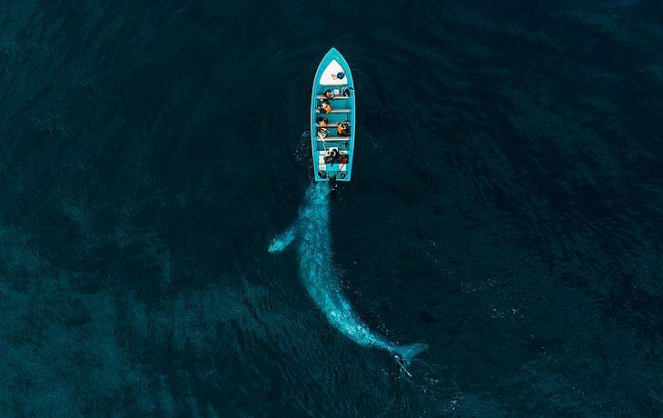 Wieloryb bawiący się z turystami. Pchał łódź przez wodę.