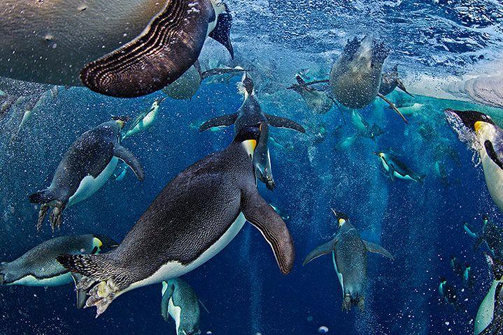 Wielokrotnie nagradzane zdjęcie pingwinów cesarskich © Paul Nicklen