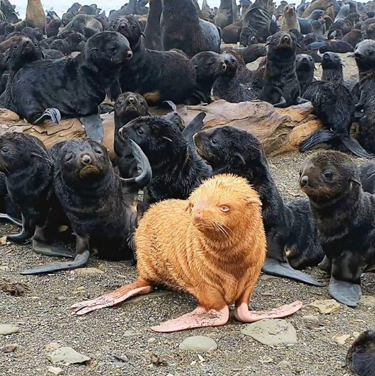 Niezwykle rzadki okaz - ruda foka.