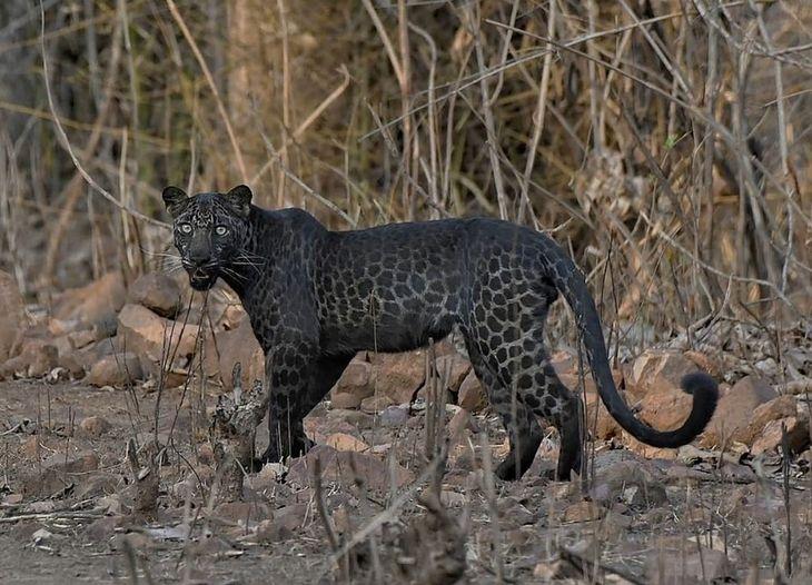 Unikalna czarna pantera.