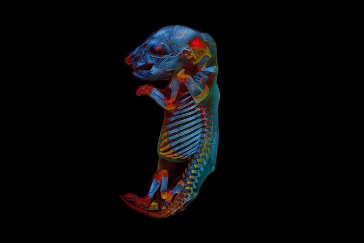 Embrion szczura