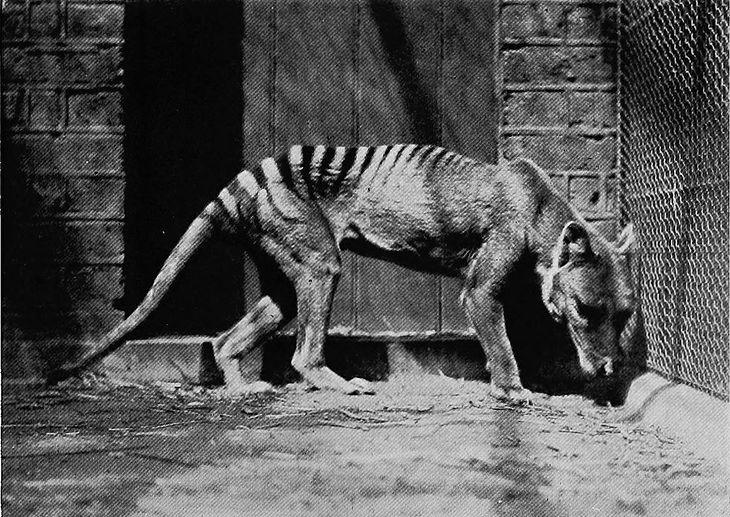 Wilkowór tasmański w 1902 roku