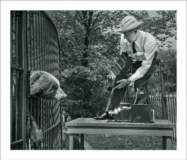 Fotoreporter stara się wykonać zbliżenie niedźwiedzia w Zoo w Brookfield, 1945 rok