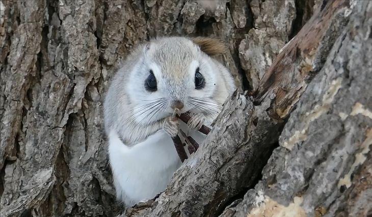 Japońska karłowata wiewiórka latająca.