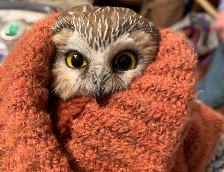 Niewielka sowa znaleziona w świątecznej choince w Nowym Jorku