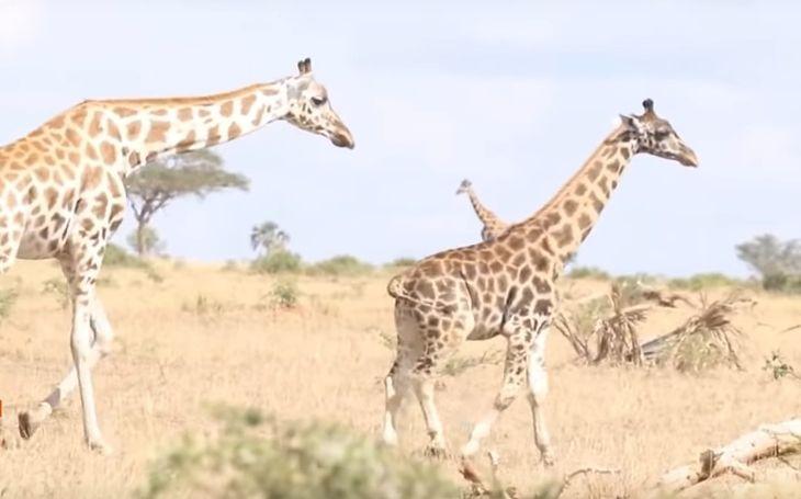 Naukowcy zauważyli karłowate żyrafy.