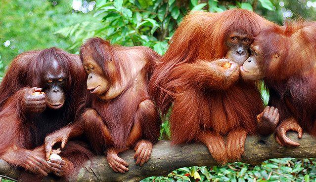 Zachowania społeczne powszechne są wśród małp (fot. dumbskull CC-BY)