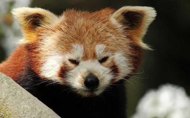 Firefox (Fot. Flickr/ Memkaos/Lic. CC by)