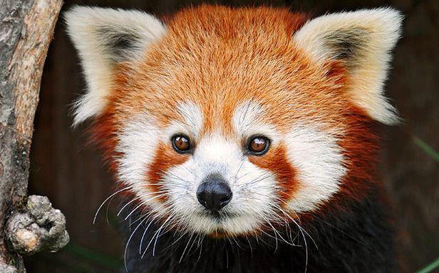 Firefox! (Fot. Flickr/Tambako the Jaguar/Lic. CC by-nd)