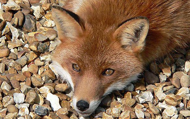 Odpoczywający lis (Fot. Flickr/Harlequeen/Lic. CC by)