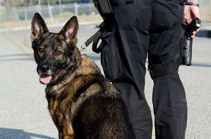 Zdjęcie psa policyjnego pochodzi z serwisu Depositphotos
