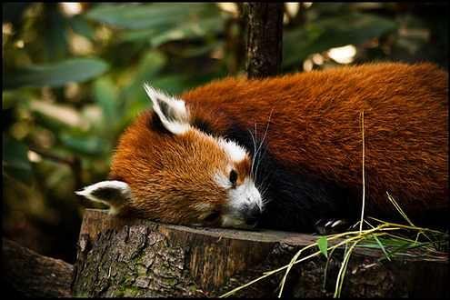 Śpiący lis - w oczekiwaniu na premierę Firefoksa 4 (Fot. Flickr/joo0ey/Lic. CC by)