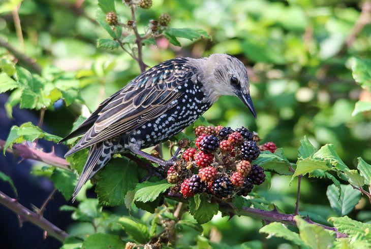 Szpaki uwielbiają owoce, dlatego dobrze jest wiedzieć, jak chronić swój ogród