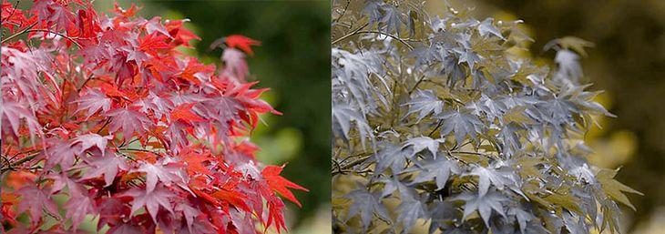 jap-maple-pair-411691-b11670eb84.jpg