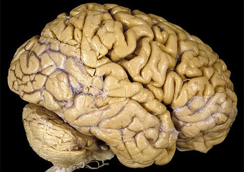 ludzki-mozg