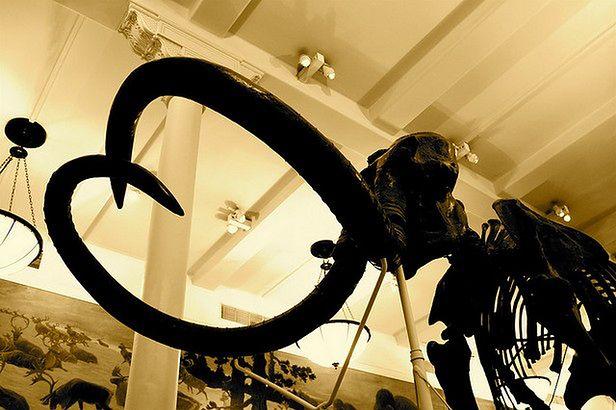 Czy klonowanie mamuta będzie w końcu możliwe? (Fot. Flickr/how lucky we are/Lic. CC BY-SA 2.0)