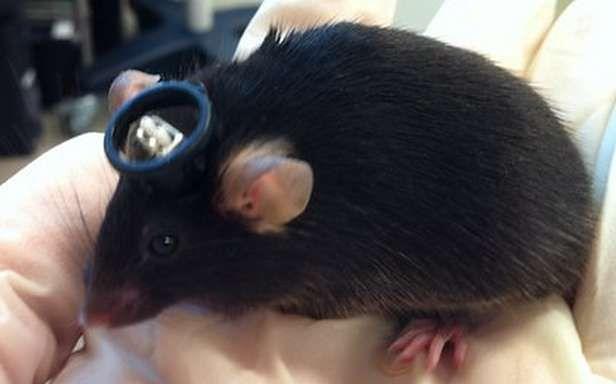 Laboratoryjna mysz zapamiętała zdarzenie, które nie miało miejsca