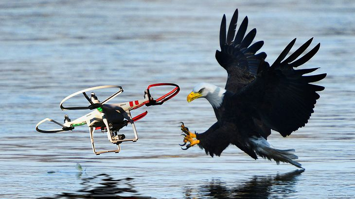 Drapieżne ptaki kontra drony