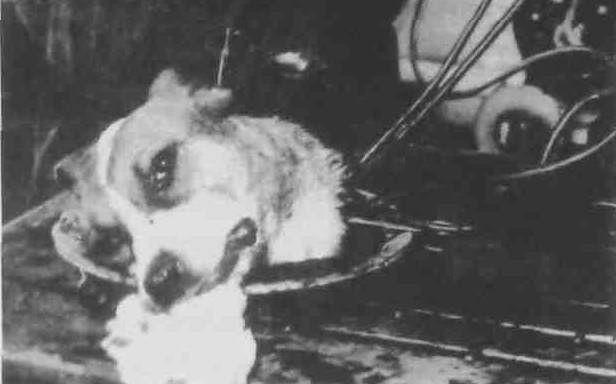 Podtrzymywana przy życiu psia głowa