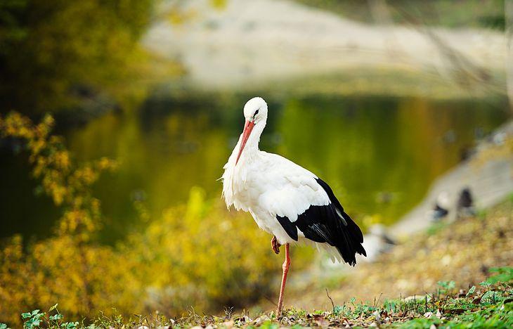 Zdjęcie bociana pochodzi z serwisu Shutterstock