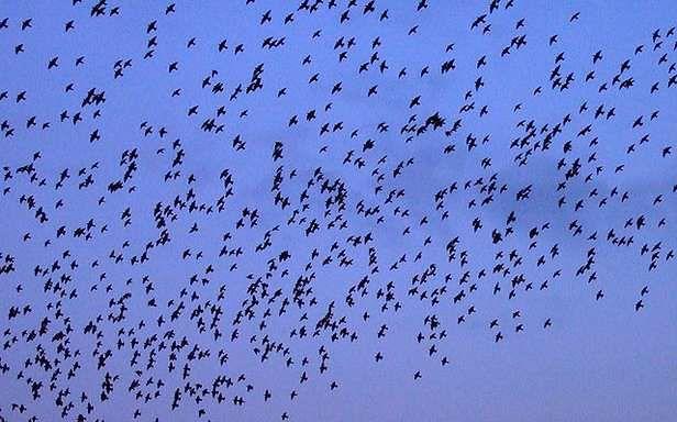 Stado ptaków (Fot. Flickr/marfis75/Lic. CC by-sa)