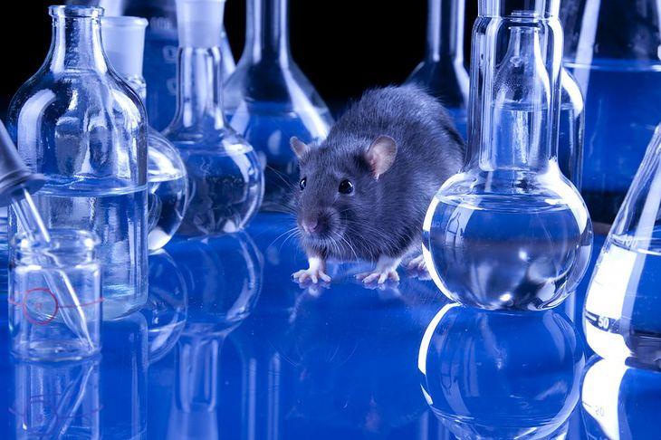 Zdjęcie szczura w laboratorium pochodzi z serwisu Shutterstock