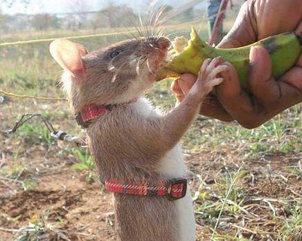 szczur saper