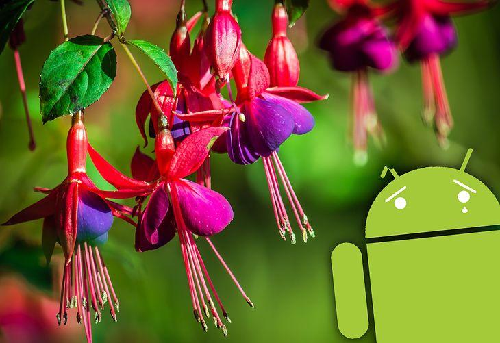 Nazwa Fuchsia OS pochodzi od kwiatu fuksji