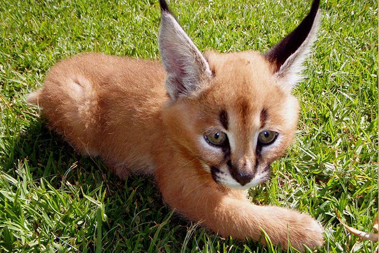 Małe Karakale Najsłodsze Koty Na świecie Zdjęcia Pudelek