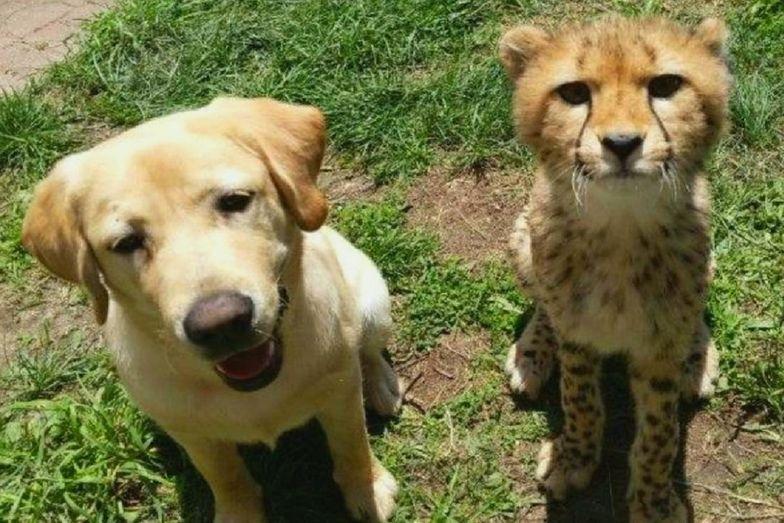 USA. Gepard zaprzyjaźnił się z psem, który pomaga mu się uspokajać