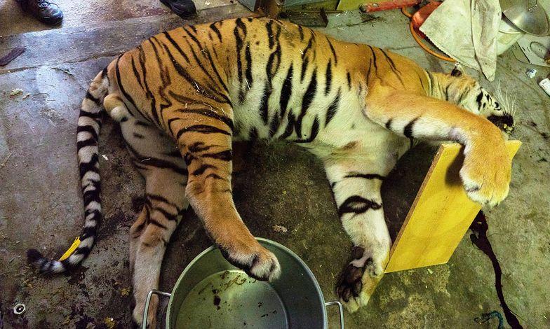 Rzeźnia tygrysów odkryta w Pradze. Mordowali je tak, żeby nie stracić futra