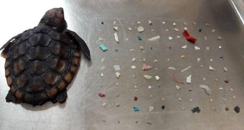 Szokujące odkrycie w żołądku małego żółwia. 104 kawałki plastiku