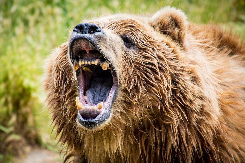 Niedźwiedź obdarł mężczyznę ze skóry