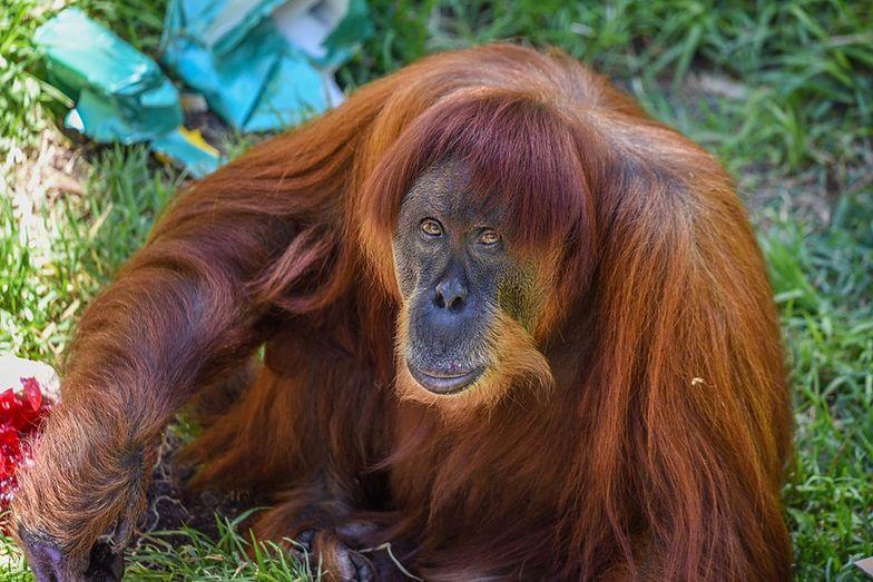 Nie żyje najstarszy orangutan na świecie. Puan miała 62 lata