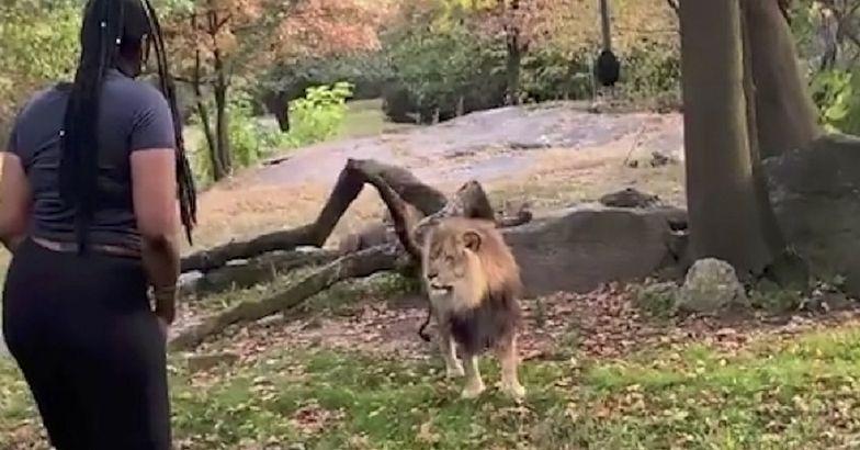 Lew patrzył zdumiony, a potem ruszył. Kobieta doigrała się po 2 miesiącach