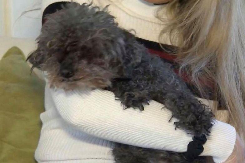 USA. Ślepy i głuchy pies porwany przez jastrzębia. Pudelek sam wrócił do domu