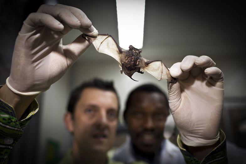 Nowe teorie na temat pochodzenia koronawirusa. W laboratorium od lat badali nietoperze