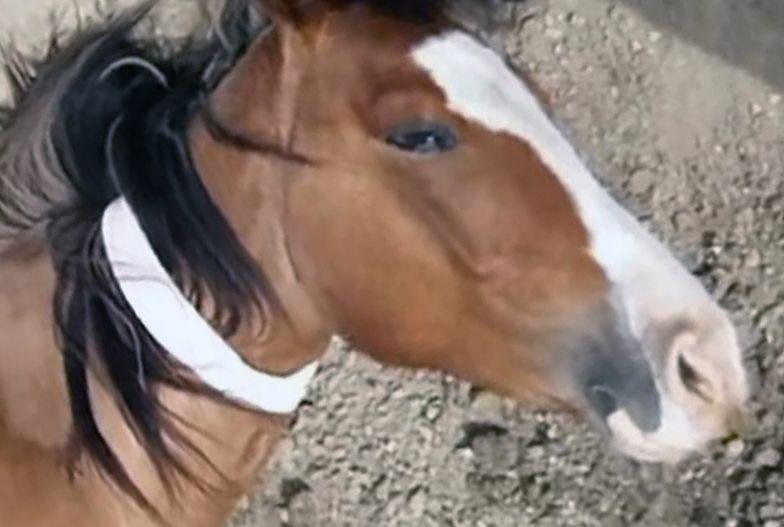 """Myśliwy zabił konia. """"Pomylił z dzikiem"""""""