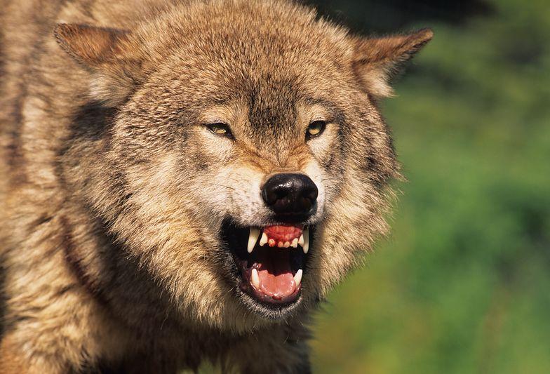 Wilk zaatakował w środku nocy. Horror turystów w namiocie