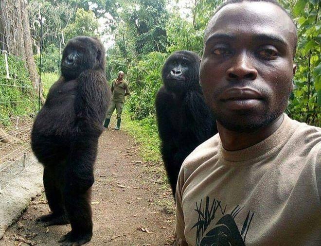 Uratował samice goryla. Od tej pory traktują go jak ojca