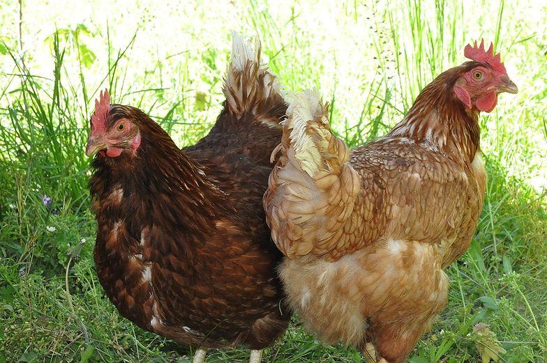 Ptasia grypa zagraża hodowcom w Wielkopolsce.