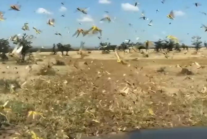 Szarańcza niszczy uprawy w Afryce. NASA połączyło siły z ONZ i znalazła sposób na powstrzymanie rojów owadów