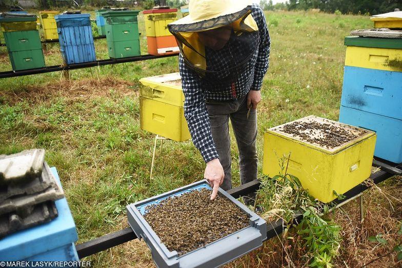 Małopolska. Padło 3,5 mln pszczół. Prawdopodobnie zostały otrute