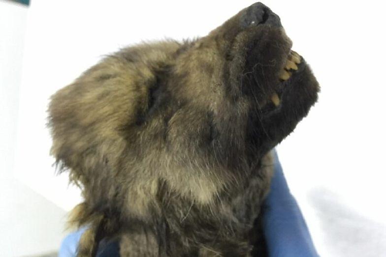 Syberia. Odnaleziono psa, który ma 18 tysięcy lat. To najstarszy pupil na świecie