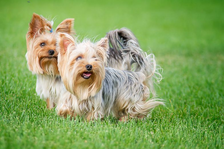 "Two dogs breed ""Yorkshire Terrier"" on a walk in the park on a summer day"
