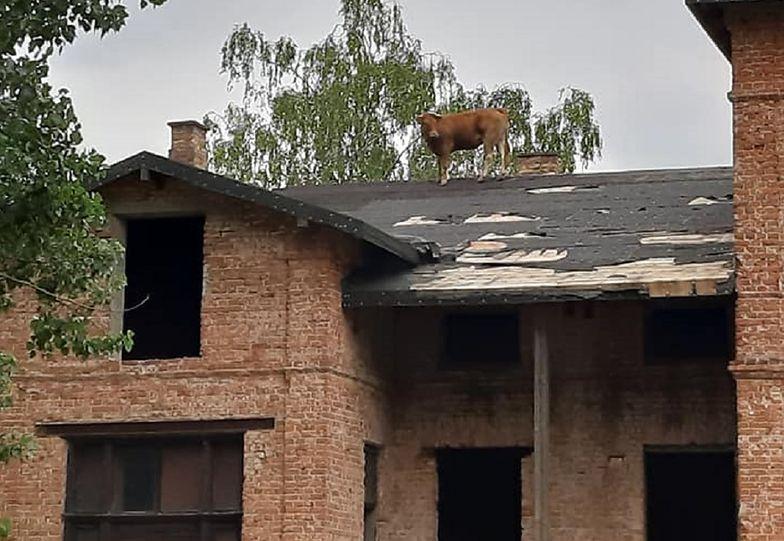 Krowa chodziła po dachu jednego z budynków.