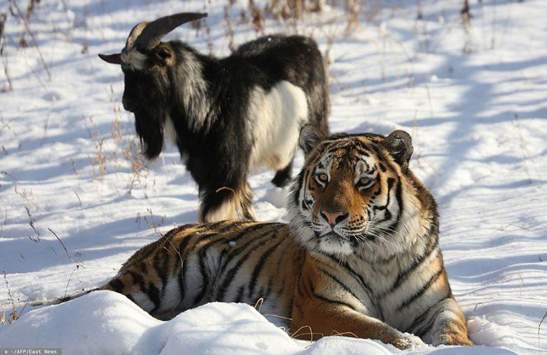 To już koniec niezwykłej przyjaźni tygrysa i kozła. Timur nie żyje