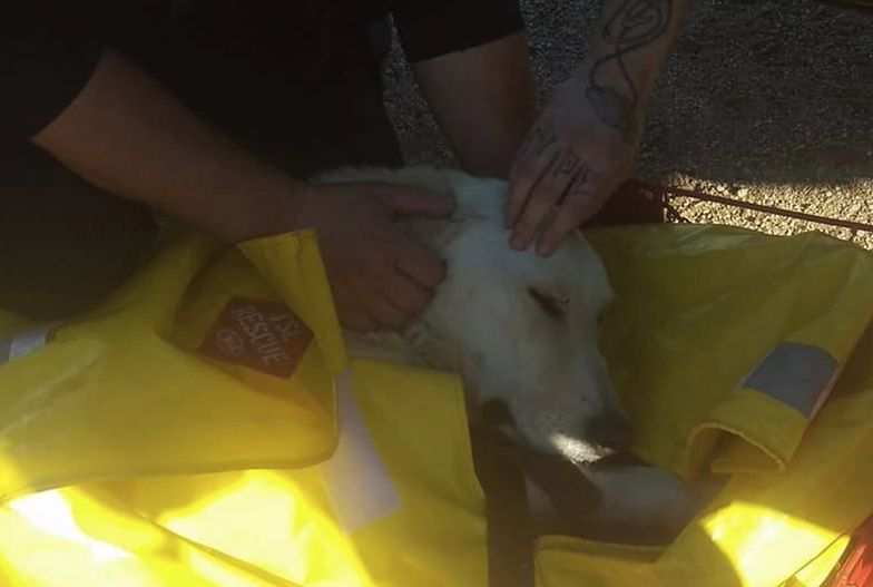 Niezwykła akcja ratowania psa. Zagubiony labrador przetrwał w Karkonoszach trzy tygodnie